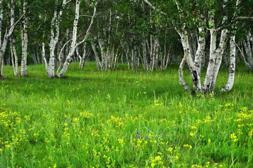 长满高大挺拔白桦树的【白桦林】