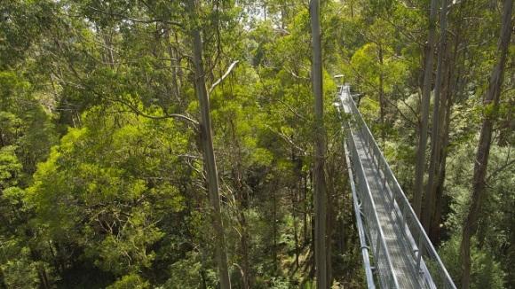 """【奥特韦树顶漫步】 奥特韦树顶漫步(Otway Fly Treetop Walk)1.9公里长的环形栈道在树顶上盘旋,是世界上最长和最高的钢结构栈道。在极其高大的雨林顶上漫步,颇有些""""上帝的视角""""。公园绝对禁止烟火,雨林中的植物从180万年前至今都没有什么变化,是地球上最古老的雨林之一。 不同于平常的雨林徒步,奥特威树顶步道让您拥有像鸟儿一样的宽阔视野,俯瞰郁郁葱葱的雨林奇景,深深呼吸,感受清润入脾的雨林气息,既适合自驾到大洋路的自驾族,也适合热爱丛林探险的驴友~ 奥特韦树顶漫步体"""