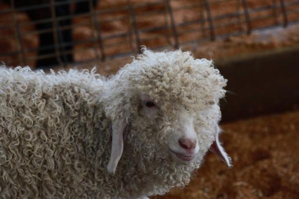 呆萌的小羊