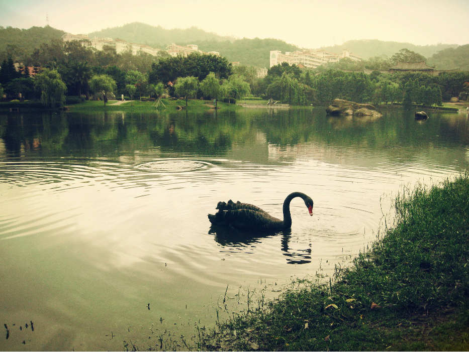 black swan in xiamen