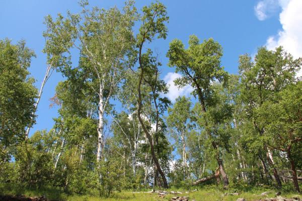 树 桦林 桦树 600_400