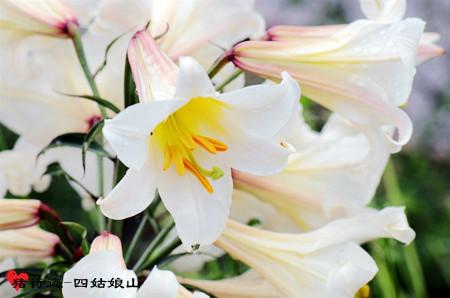 没有姑娘的四姑娘山开满鲜花的夏 美图