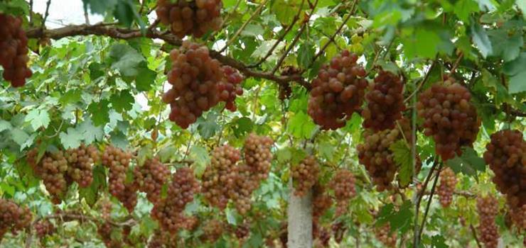 长沙滴翠山庄葡萄园