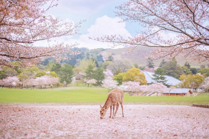 说到日本一年中的旅游最旺季,非赏樱的春季和赏枫的秋季莫属